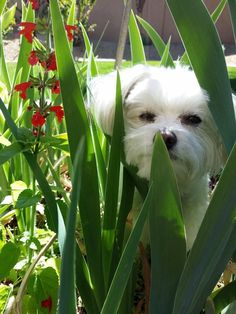 Zoe the Therapy Dog doing some gardening!