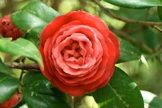 Red Camellias - Meaning Excellence and Perfection