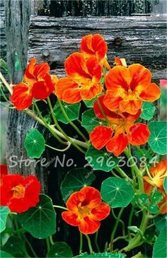 Lowest Price!!! 200Pcs Fresh Tropaeolum Majus Nasturtium Seeds Easy Planting Flower Semillas, Natural Growth for Home Garden