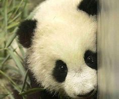 Bei Bei the giant panda cub's big debut - Particle News