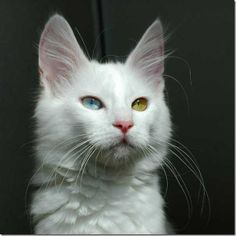 Multicolored_eyes_of_cats_100_funnypagenet.com_ (574x574, 63Kb)