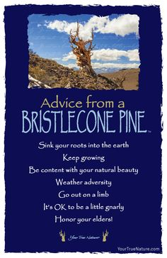 Change Advice from a Bristlecone Pine: Weather Adversity. Your True Nature