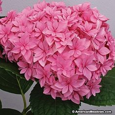 Hydrangea Perfection is a stunning re-bloomer with pink to blue double blooms. A truly elegant, long-lasting statement in any garden. PP