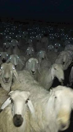 Running Into a Herd Of Sheep At Night Could Be Quite Terrifying - World's largest collection of cat memes and other animals Animals And Pets, Funny Animals, Cute Animals, Creepy Animals, Wild Animals, Animal Pictures, Funny Pictures, Satanic Rituals, Tier Fotos