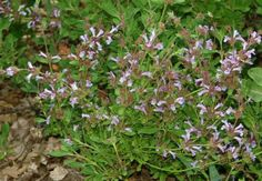 Salvia munzii | Miguel Mountain Sage/San Diego Sage
