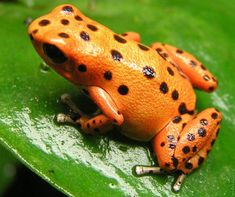 Cute Frogs | ... ://www.funny-potato.com/images/animals/frogs-colors/orange-frog.jpg
