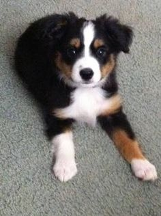 MINI Australian Shepard. Dream dog!!