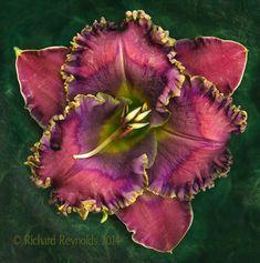 "Daylily: Hemerocallis ""Winter Rainbow"" [Family: Xanthorrhoeaceae] -  Flickr - Photo Sharing!"