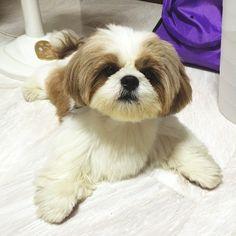 Yes are you looking for me? #petsmiles #muffincanpongpong #bestanimal #shihtzu…