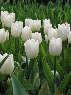 20 ideas de Tulipanes Blancos   tulipanes blancos, tulipanes, flores