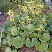 Farfugium japonicum (Leopard plant)  Click image to learn more, add to your lists and get care advice reminders each month.