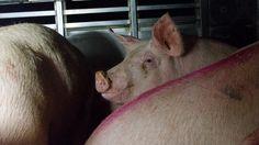 Teuraskuljetus, huhtikuu 2015. Suomessa tapetaan noin kaksi miljoonaa sikaa vuodessa. Lihasikojen elämä on lyhyt, vain noin puolen vuoden mittainen. Suurin osa niistä näkee ja haistaa ulkoilmaa ensimmäisen ja viimeisen kerran matkallaan teuraaksi. http://elaintehtaat.fi/kuvia-sikojen-teuraskuljetuksesta