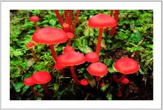 -red mushrooms