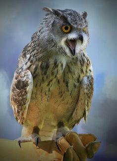 Eagle Owl...   by A.J.Pendleton-Lightbox 2008 (On and Off)