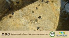 At #LaCocoteraEcoResort you will help the conservation of the sea turtles.A true lifetime experience!