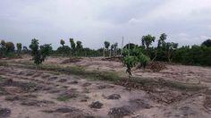 Okra plants with Mango Trees in between