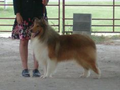 """Tess' """"grandpa"""" ~ Van-M Spur's Moment in Time of Cook's Collies"""