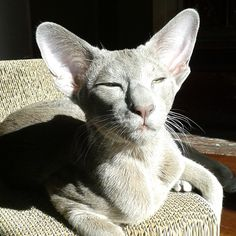 5 Things You Didn't Know About The Oriental Shorthair - iHeartCats.com - Because Every Cat Matters ™