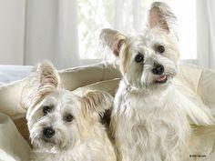 Sweet white dogs Wallpaper