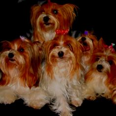 This is what a party color yorkie looks like .