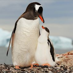 Photo by A mother Gentoo Penguin watches over her chick near her nesting area on a rocky outcropping in Antarctica. According to the International Union for the Conservation of Nature, Gentoo Penguins are 'near threatened,' with numbers decl National Geographic, Delta Del Okavango, Penguin Day, Baby Animals, Cute Animals, Wild Animals, Wildlife Day, Gentoo Penguin, Ocean Day
