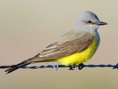 Western Kingbird photos and videos, All About Birds, Cornell Lab of Ornithology Central America, South America, Red Tailed Hawk, Flying Insects, Tropical Forest, Birds Eye View, Wild Birds, Bird Watching, Colombia