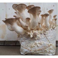 Kräuterseitling Pilzzucht-Fertigkultur, Pilze züchten