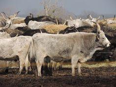 Panoramio - Photos by László Nagy Moose Art, Cattle, Animals, Photos, Gado Gado, Animales, Pictures, Animaux, Animal