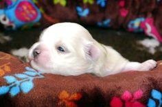 Adorable Paws / D-Wurf Malteser Welpe, 19.01.17, 2 Wochen alt, Züchter Daniela Krüger