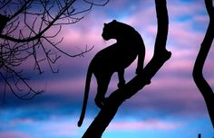 """Leopard Silhouette"" by Andrew Schoeman"