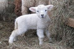 Adorable little lamb. Cute Baby Animals, Farm Animals, Animals And Pets, Lion And Lamb, Sheep And Lamb, Baby Sheep, Cute Sheep, Babydoll Sheep, Dou Dou