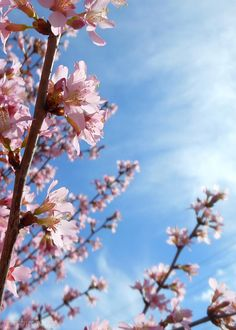 Pink Cherry Blossoms Photograph - Pink Cherry Blossoms Branching Up To The Sky by Kristin Aquariann