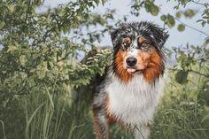 Australian Shepherds, Elmo, Border Collie, Dog Cat, Instagram, Cats, Animals, Aussie Shepherd, Gatos