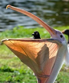 """Pelican and Pigeon ~ Miks' Pics """"Fowl Feathered Friends ll"""" board @ http://www.pinterest.com/msmgish/fowl-feathered-friends-ll/"""