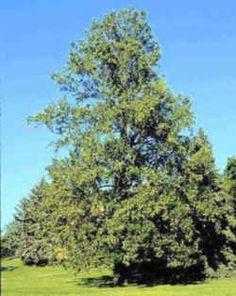 illinois state native tree white oak illinois pinterest