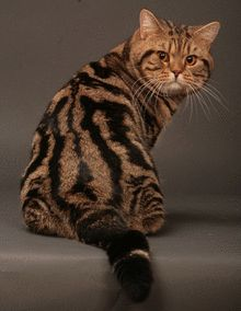 http://flolly.com/cats/cat-breeds/british-shorthair-cat/