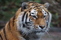 Tiger, Zoo, Raubtier