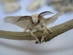 Find images and videos about cute animals, insects and silkworm moth on We Heart It - the app to get lost in what you love. Venezuelan Poodle Moth, Silkworm Moth, Cute Moth, Rosy Maple Moth, Farm Animals, Cute Animals, Creepy Animals, Mothman, A Bug's Life