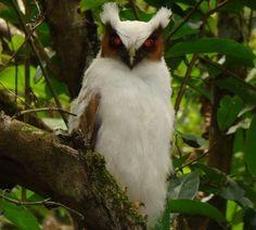 Aves de Rapina BR | Coruja-de-crista (Lophostrix cristata) filhote
