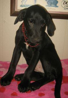 Prancer - 3 month old, neutered male, lab mix, ID#062424G