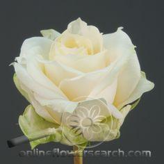 Rose Renate  Creamy with Pale Yellow Center    Substitute with:       Rose Crème de la Crème        Breeder:     Preesman