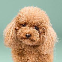 photos chiens avant et après le toilettage