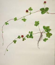 False strawberry-Chisako Fukuyama, Watercolor http://chisako-fukuyama.jimdo.com/works/water-color/
