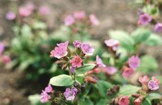 Bársonyos tüdőfű (Pulmonaria mollis, Boraginaceae) (Turcsányi Gábor felvétele) Plants, Planters, Plant, Planting