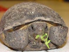 gopher tortoise Aww, it's my hubby!! LOL ~JC~