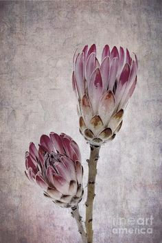 home scatter cushions protea pictures - Google Search