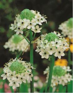 Śniedek Saundersa - Ornithogalum saundersiae - 1 szt. - Sklep Świat Kwiatów | Dostawa gratis!