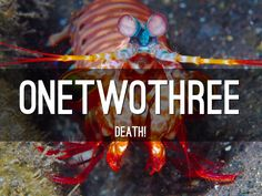 Mantis shrimp