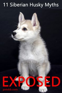 We clear up 11 common Siberian Husky myths. Find the truth about these mythical looking dogs here Siberian Husky Facts, Siberian Husky Puppies, Husky Puppy, Siberian Huskies, Dog Stress, Best Guard Dogs, German Shepherd Puppies, Animal Design, Dog Care