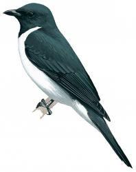 Grauer's Cuckoo-shrike (Coracina graueri)